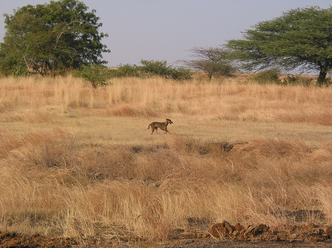 Free-ranging dog in Great Indian Bustard Wildlife Sanctuary, Maharashtra, India. Such dogs have the potential to greatly influence wildlife in the region. Photo by Matthew Gompper. Used with permission.