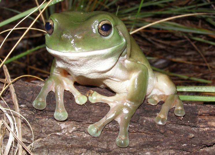 A green tree frog. Photo by Ed Meyer.