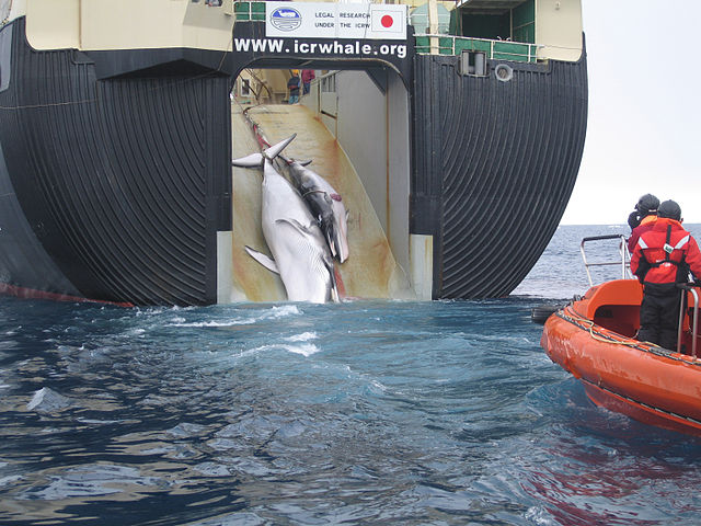 A Minke whale and her 1-year-old calf are dragged aboard the Nisshin Maru, a Japanese whaling vessel. Photo by Australian Customs and Border Protection Service, 6 February 2008. CC BY-SA 3.0 Australia via Wikimedia Commons