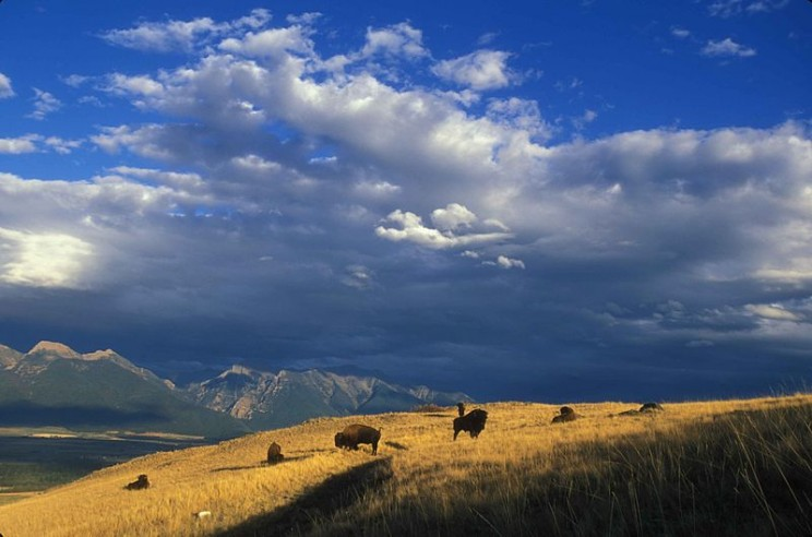 Expansive view of bison grazing on a mountainside by Hagerty Ryan, U.S. Fish and Wildlife Service. Public Domain via Wikimedia Commons.