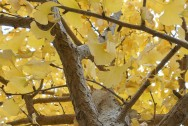 1260-gingko-tree-546106_1920