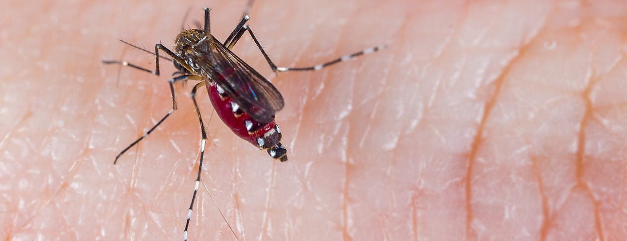 The Aedes aegypti mosquito has white markings on its legs and a lyre marking on the upper surface of its thorax.