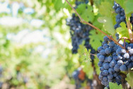 purple-grapes-553462_1260