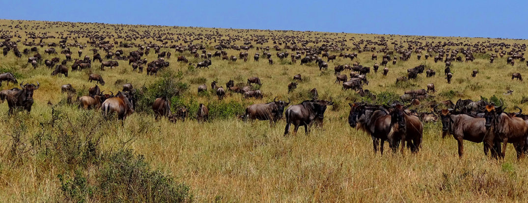 1260---Wildebeest-during-Great-Migration