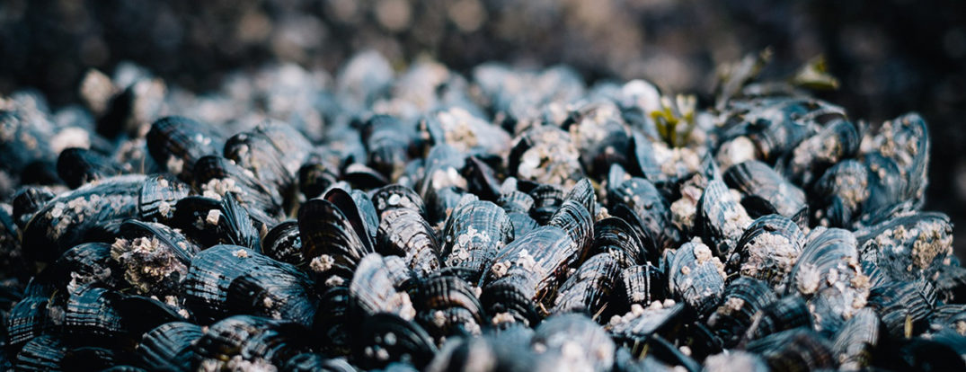 common-mussels-593952